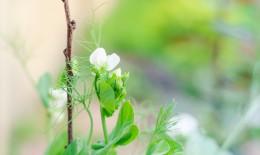 coltivare piselli rampicanti, coltivazione piselli