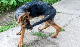 cane. morde, coda