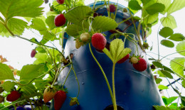 coltivare fragole vaso verticale, come fare torre fragole