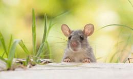 Sognare topolini