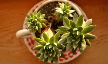 piante in tazza