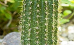 Trichocereus-cactus-piante grasse