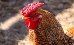 oroscopo cinese gallo