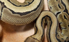 oroscopo cinese serpente