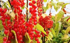 coltivazione ribes rosso e nero guida