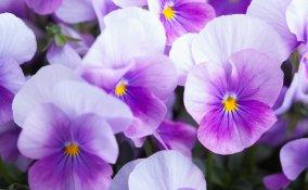 coltivare violette, coltivare viola del pensiero, coltivare viola cornuta