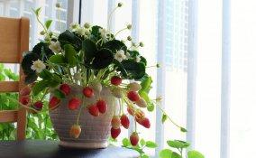coltivare fragole vaso