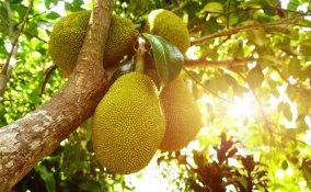 jackfruit sapore, jackfruit proprietà