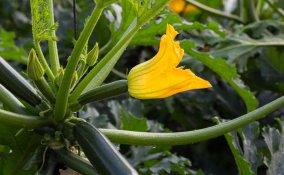 coltivare zucchine vaso, coltivare zucchine balcone