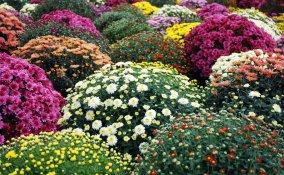 come coltivare crisantemi giardino, coltivare crisantemi
