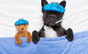 febbre nel cane