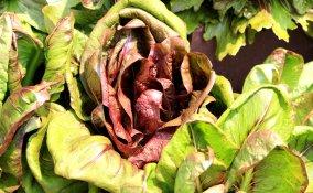 coltivare cicoria vaso