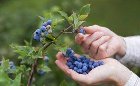 coltivare mirtilli in vaso