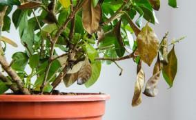 gardenia secca, gardenia foglie appassite