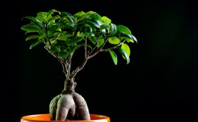 bonsai ginseng cura