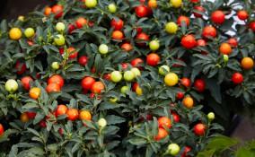coltivare solanum pseudocapsicum, coltivare ciliegie gerusalemme