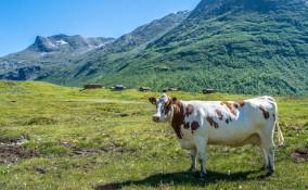 sognare mucca, sognare mucche, cosa significa sognare mucca