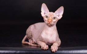 gatto sphynx, gatto senza pelo