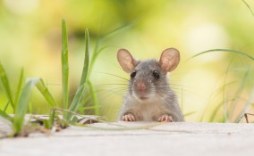 sognare topi che corrono o scappano, sogni, interpretazione
