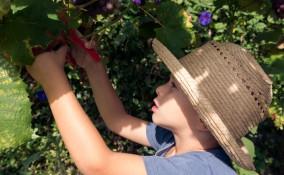 Vendemmia con i bambini: i consigli per raccogliere l'uva in famiglia
