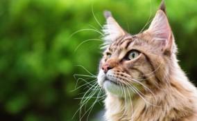 gatti, razze, grandi