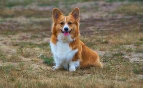 pembroke welsh corgi, cani gallesi, razza canina