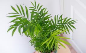 come coltivare chamaedorea, come coltivare palma della fortuna, chamaedorea elegans cura
