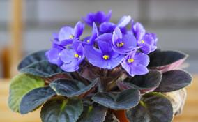 come coltivare violette africane, coltivare saintpaulia, coltivare violette