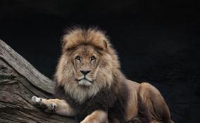 interpretazione sogni, leone insegue, significato
