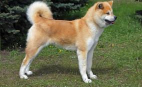 razze, cani Giappone