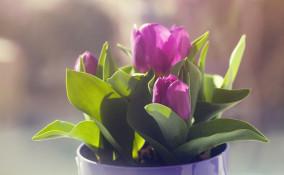 come coltivare tulipani casa, coltivare tulipani, coltivare tulipani acqua, coltivare tulipani vaso