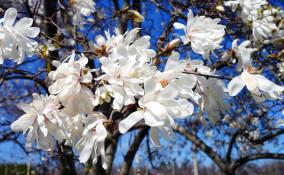 come coltivare magnolia stellata, coltivazione magnolia stellata