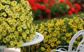 petunia nana coltivazione, coltivare petunia nana, coltivare calibrachoa, coltivazione calibrachoa
