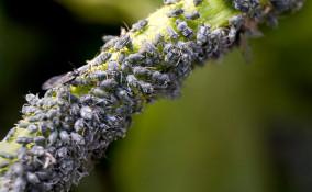 eliminare afidi piante