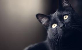 gatto, nero, razze