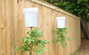 coltivare pomodori sospesi