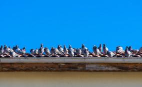 come allontanare piccioni tetti, piccioni tetti