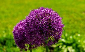 come coltivare aglio ornamentale, come coltivare allium