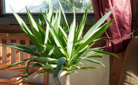 come coltivare yucca, coltivazione yucca