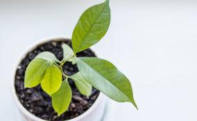coltivare litchis vaso, come coltivare litchi