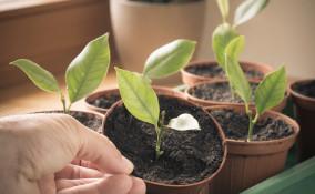 come piantare limone