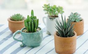 come curare piante grasse, come coltivare piante grasse