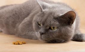 gatto, cibo, vomito