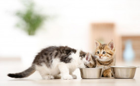 Svezzamento dei gattini
