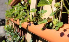 come coltivare fragole tubo orizzontale, come coltivare fragole