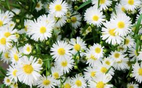 esperimento colore fiori