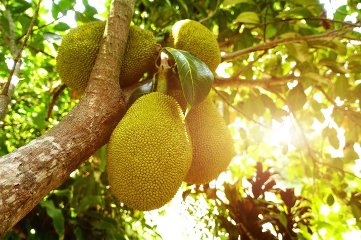 Jackfruit, sapore e proprietà del frutto esotico indiano