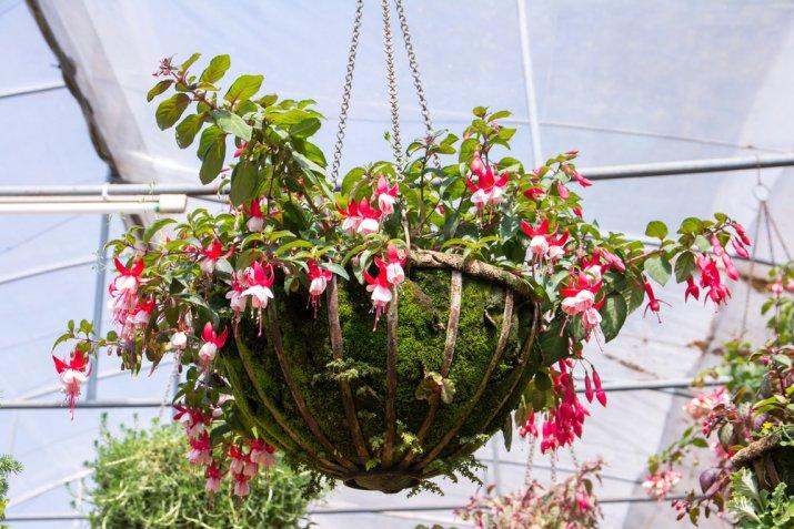 Fiori da balcone pendenti, i più belli da appendere in estate