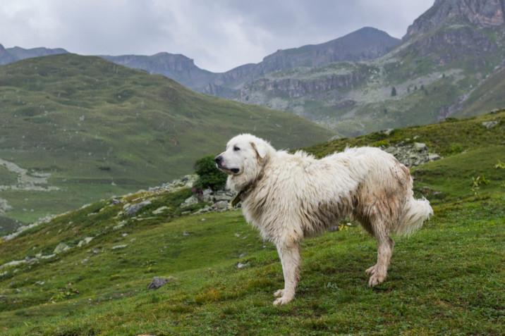 Le razze di cani più grandi del mondo e le foto degli esemplari