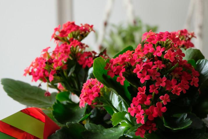 Quali fiori coltivare per Natale: idee e consigli